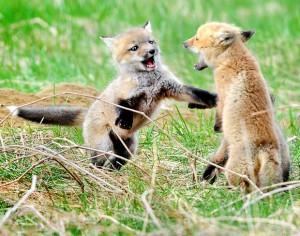 fox-kits-fight_1614129i