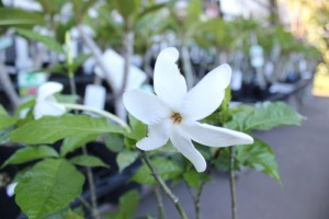 gardenia-africa
