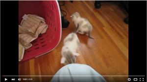抱っこするとニャーニャーが止まるかわいい子猫ちゃん達